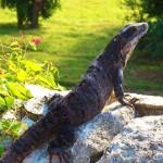 One Big Lizard