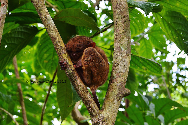 Tarsier-Bohol-Sleeping