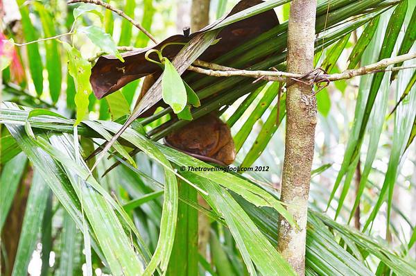Sleeping-Tarsier-Philippines